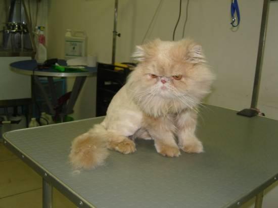 Где подстричь кота ростов